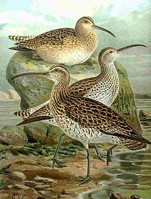 ave-em-extinção-maçarico-de-bico-fino