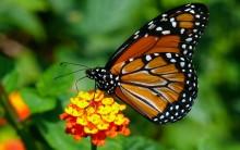 Metamorfose Borboleta Monarca – Conheça a Espécie e Entenda a Mutação