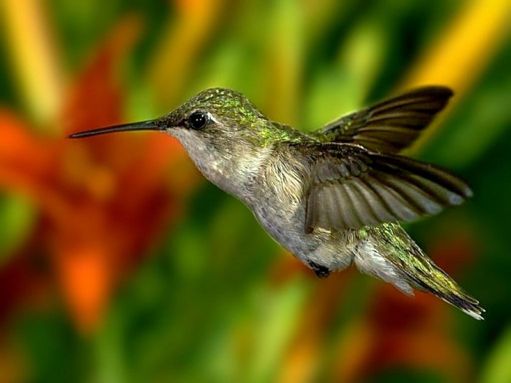 foto beijaflor Fotos Lindas do Reino Animal   As mais Belas Imagens da Natureza