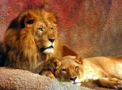 fotos leoes Fotos Lindas do Reino Animal   As mais Belas Imagens da Natureza