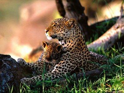 fotos loepardos Fotos Lindas do Reino Animal   As mais Belas Imagens da Natureza
