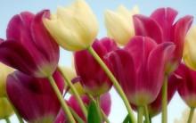 Tulipas – Como Cuidar, Plantar, Regar e Fotos