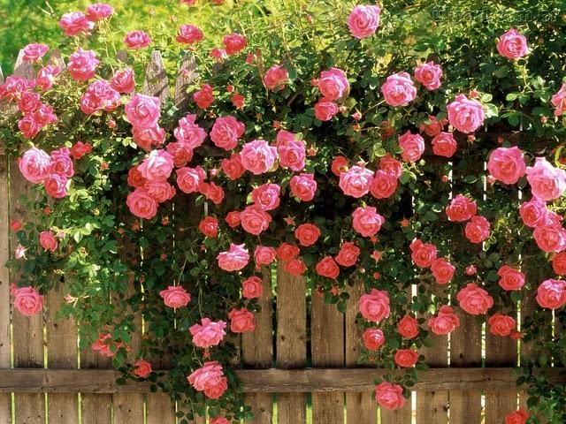 Como Plantar Rosas e Cuidar para que estejam Sempre Lindas Floridas