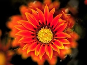 melhores-fotos-de-flores-flor-margarida
