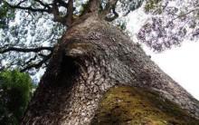 Conheça a Árvore Brasileira de Três Mil Anos – Um Jequitibá Gigante