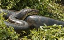 Tudo sobre Sucuri – Espécies, Alimentação e Fotos das Cobras Gigantes