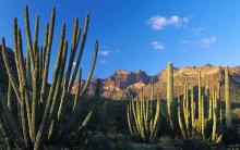 Cactos Sobrevivem no Deserto, Absorvem Água e Armazenam