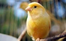 Tudo sobre Canário do Reino (Serinus canaria): Alimentação, Habitat