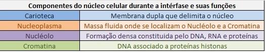estrutura do nucleo interfase  Núcleo Celular   Função na Célula, Estrutura, Tabelas, Imagens e mais