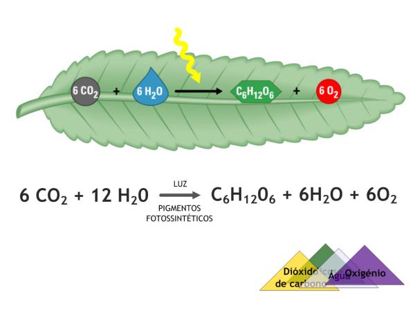 fotossintes 2 Fotossíntese: Como Funciona e Etapas, Resumo para Estudo com Esquemas