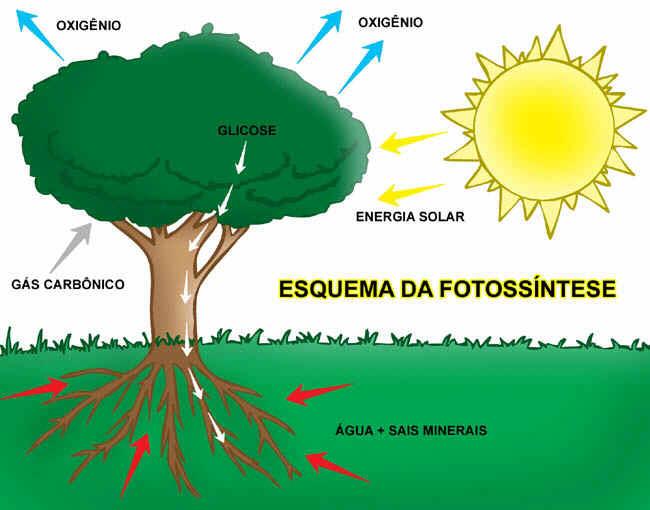 fotossintese 3 Fotossíntese: Como Funciona e Etapas, Resumo para Estudo com Esquemas