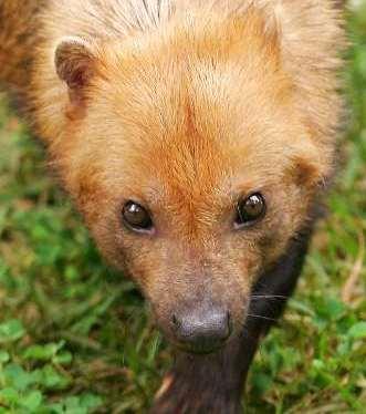 cachorro vinagre1 Lista com os Principais Animais em Risco de Extinção no Mundo em 2011