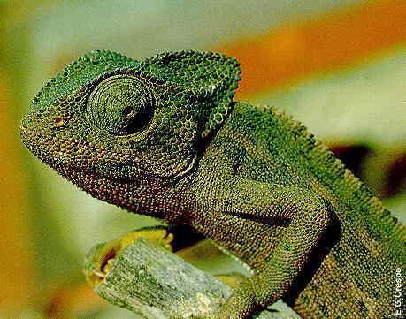 camaleao Tudo sobre o Camaleão: Características, Alimentação e Mudança de Cor