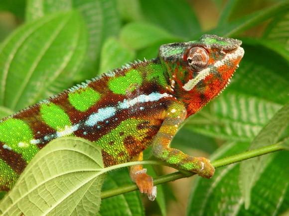 cor camaleao Tudo sobre o Camaleão: Características, Alimentação e Mudança de Cor