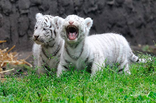 Melhores Fotos de Tigres Brancos: Lindas Imagens Animais para Imprimir