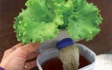 Hidroponia: Cultivo Hidropônico de Verduras em Potes de Sorvete