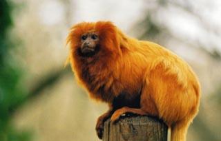 mico leao dourado extincao Lista com os Principais Animais em Risco de Extinção no Mundo em 2011