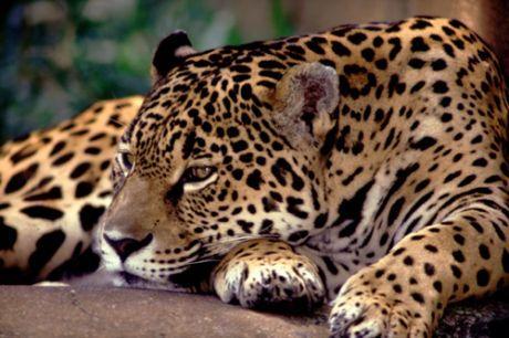 onca pintada Lista com os Principais Animais em Risco de Extinção no Mundo em 2011