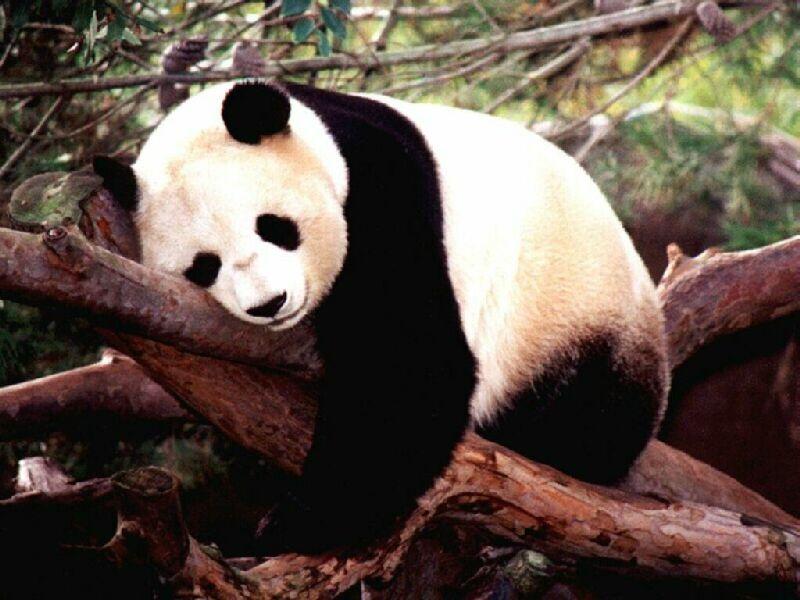 panda gigante Lista com os Principais Animais em Risco de Extinção no Mundo em 2011