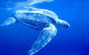 tartaruga de couro Lista com os Principais Animais em Risco de Extinção no Mundo em 2011
