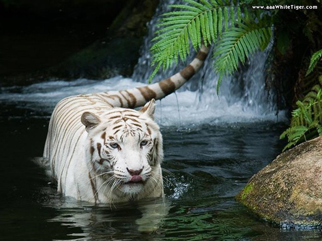 Melhores Fotos De Tigres Brancos Lindas Imagens Animais Para Imprimir