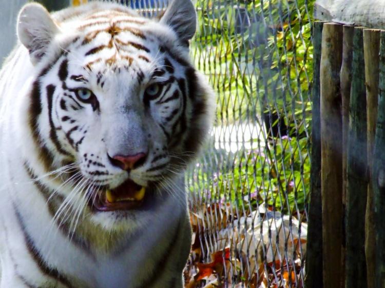 tigre branco jaula Melhores Fotos de Tigres Brancos: Lindas Imagens Animais para Imprimir