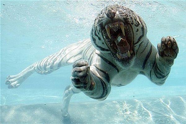 tigre branco nadando Melhores Fotos de Tigres Brancos: Lindas Imagens Animais para Imprimir