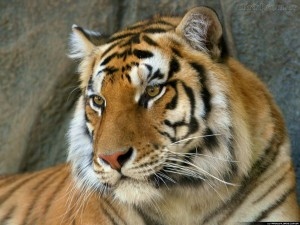 tigre de bengala 300x225 Lista com os Principais Animais em Risco de Extinção no Mundo em 2011
