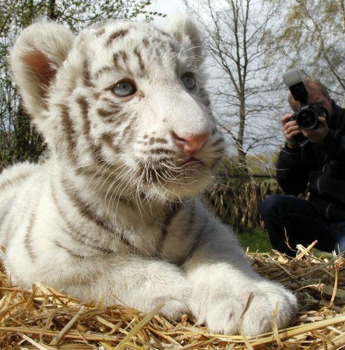 tigre Melhores Fotos de Tigres Brancos: Lindas Imagens Animais para Imprimir