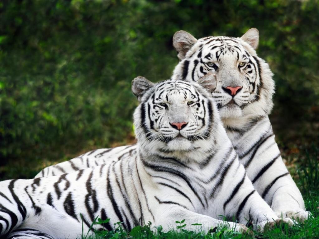 tigres brancos 1024x768 Melhores Fotos de Tigres Brancos: Lindas Imagens Animais para Imprimir
