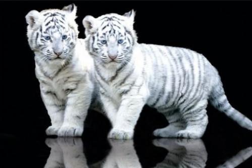tigres brancos filhores Melhores Fotos de Tigres Brancos: Lindas Imagens Animais para Imprimir