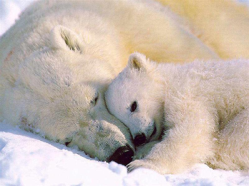 urso polar Lista com os Principais Animais em Risco de Extinção no Mundo em 2011