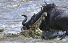 Melhores Fotos de Ataques de Animais Selvagens: Imagens Incríveis