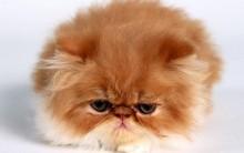 Tudo sobre Gato Persa: História da Raça, Tipos, Características, Fotos