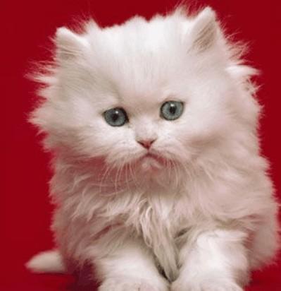 Gatinhos Persas para venda - Animais de estimação