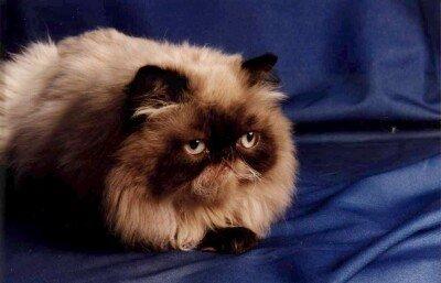 gato persa escuro Tudo sobre Gato Persa: História da Raça, Tipos, Características, Fotos