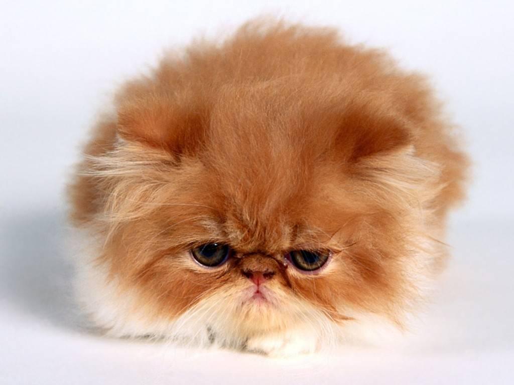 gato persa Tudo sobre Gato Persa: História da Raça, Tipos, Características, Fotos