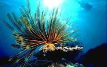 Tudo sobre Lírios do Mar: Estrutura, Alimentos, Extinção, Fotos