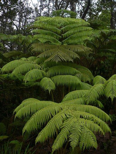 samambaias plantas sem sementes 1 Lindas Samambaias, como Cuidar e Diferentes Tipos   Confira Fotos