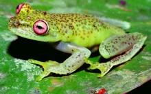Metade dos Anfíbios do Cerrado podem Desaparecer: Causas da Extinção