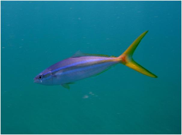peixe-arabaiana-pitangola-