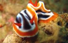 Nudibrânquios: Tudo Sobre Espécies, Moluscos do Mar, Cores e Fotos