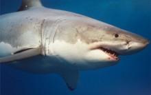 Aumentam os Casos de Ataques de Tubarões no Mundo: Causas das Mortes