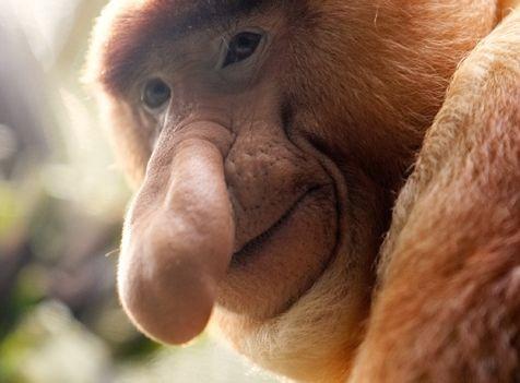 macaco de nariz grande Os Animais mais Esquisitos do Mundo: Fotos dos Bichos Bizarros e Feios