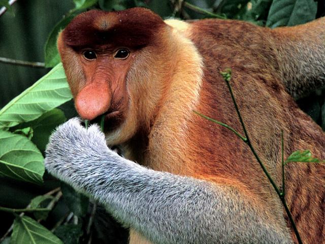 macaco narigudo Os Animais mais Esquisitos do Mundo: Fotos dos Bichos Bizarros e Feios