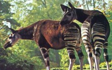 Tudo sobre o Ocapi, Mamífero da Família das Zebras com Lingua de 30 cm
