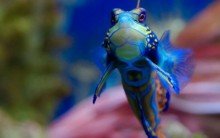 Tudo Sobre o Peixe-Mandarim: Alimentação, Habitat, Reprodução e Fotos