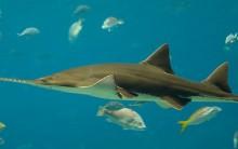 Tudo sobre Peixe-serra: Alimentação, Habitat, Reprodução, Fotos e mais