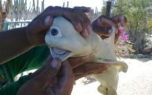 Tubarão Ciclope Assusta os Mexicanos: Animal tem um Olho Só, Fotos