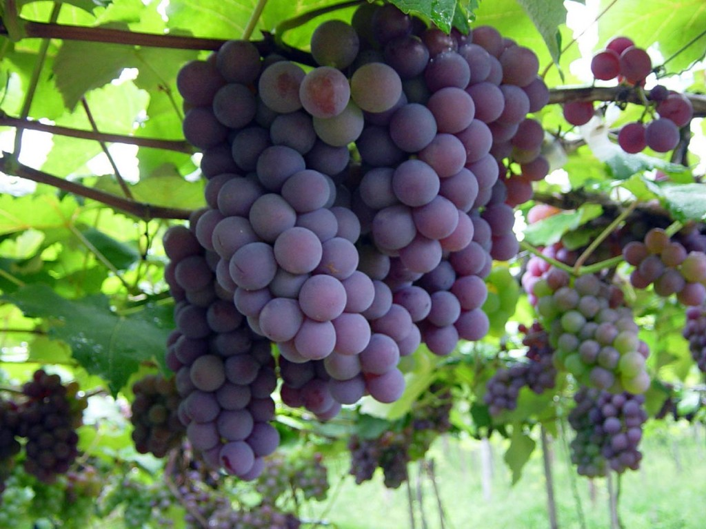 uva 1024x768 Significado das Frutas: Simbolismo e Característica dos Frutos, Origem